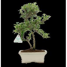 Serissa foetida variegata - 33 cm