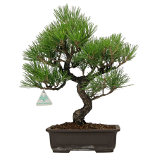 Pinus thunbergii - 42 cm