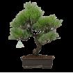 Pinus thunbergii - Pino nero - 42 cm