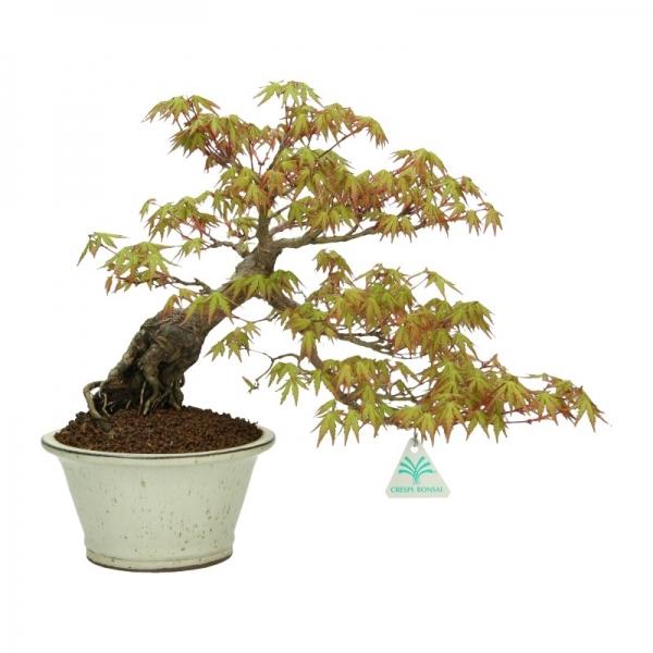 Acer palmatum - maple - 28 cm