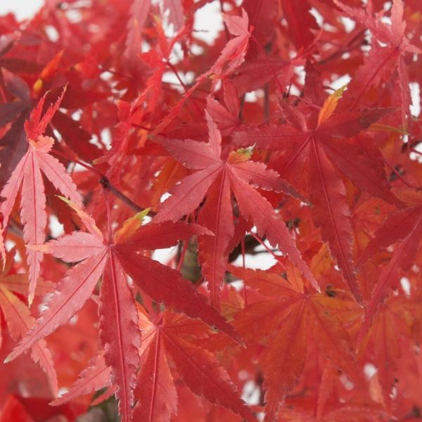 Acer palmatum - acero - 28 cm
