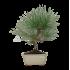 Pinus thunbergii - Pino nero - 37 cm
