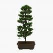 Chamaecyparis  obtusa False Cypress - 75 cm