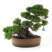 Trachelospermum asiaticum - 45 cm