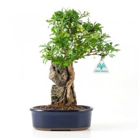 Berberis thunbergii - 32 cm
