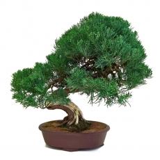 Juniperus chinensis - Genévrier de Chine - 61 cm