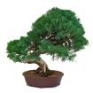 Juniperus chinensis - Juniper - 61 cm