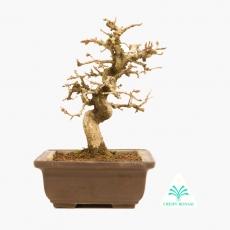 Carpinus - carpino - 23 cm