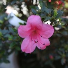Azalea - 25 cm