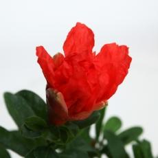 Punica granatum - Pomegranate - 35 cm