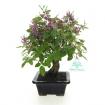 Lespedeza bicolor japonica - 25 cm
