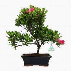Azalea - 35 cm