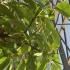 Stachyurus praecox - 33 cm