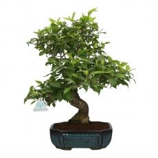 Callicarpa japonica - 44 cm
