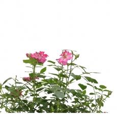Rosa - 46 cm