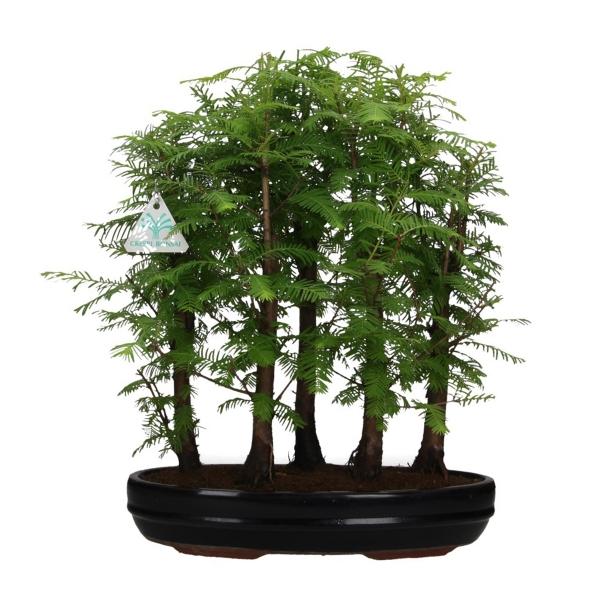 Metasequoia - 42 cm