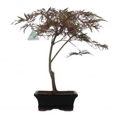 Acer palmatum dissectum - maple - 38 cm