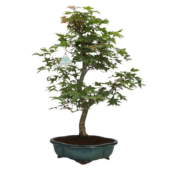 Acer palmatum Deshojo - maple - 55 cm