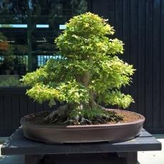 Acer buergerianum - Acero - 73 cm