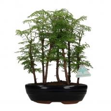 Metasequoia - 35 cm