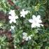 Serissa foetida variegata - 22 cm
