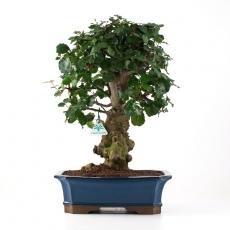 Ceratonia siliqua - 50 cm