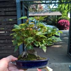 Acer buergerianum - acero - 14 cm