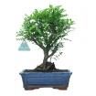 Zanthoxylum - Pepper tree - 29 cm