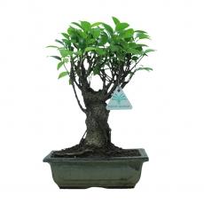 Ficus retusa - 29 cm