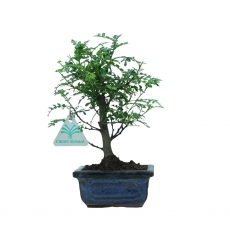 Zanthoxylum - Pepper tree - 23 cm
