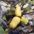 Chaenomeles japonica  Chojubai - 30 cm