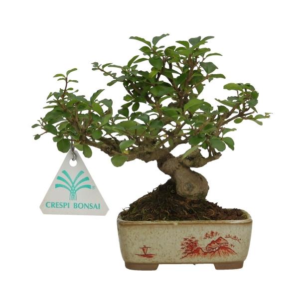 Ligustrum obtusifolium - Troène - 13 cm