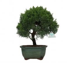 Juniperus chinensis - Genévrier de Chine - 33 cm
