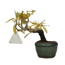 Punica granatum - Melograno - 15 cm