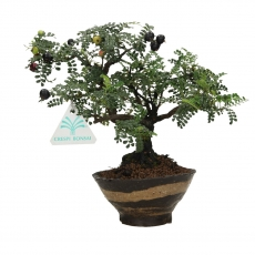 Osteomeles anthyllidifolia - 22 cm