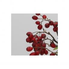 Pourthiaea villosa - 22 cm