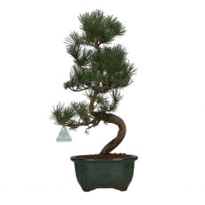 Pinus pentaphylla - Pine five needles - 46 cm