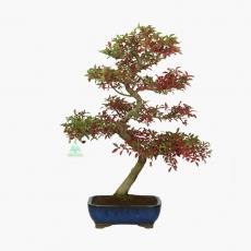 Euonymus - Fusain - 52 cm