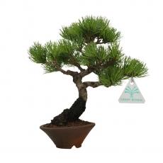 Pinus pentaphylla - Pin à cinq aiguilles - 22 cm
