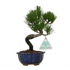 Pinus pentaphylla - Pin à cinq aiguilles - 20 cm