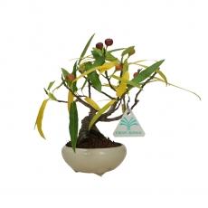 Ficus erecta - Fico - 19 cm