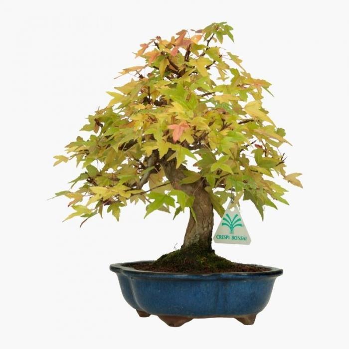 Acer buergerianum - acero - 30 cm