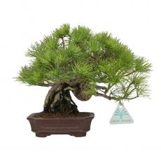 Pinus pentaphylla Shohin - Pin à cinq aiguilles - 21 cm