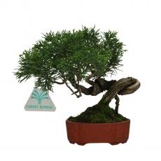 Juniperus chinensis - Ginepro - 15 cm