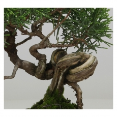 Juniperus chinensis - Genévrier de Chine - 15 cm