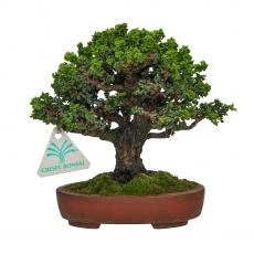 Chamaecyparis obtusa sekka - False Cypress - 17 cm
