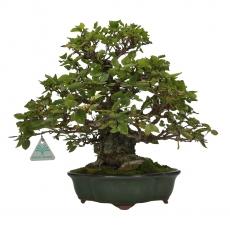 Carpinus coreana - Carpino - 32 cm
