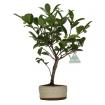 Camellia - 30 cm