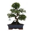 Sagerethia theezans - Sageretia - 50 cm