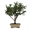 Camellia - 43 cm